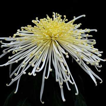 独本菊的养殖方法