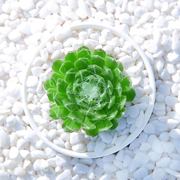 蛛丝卷绢的养殖方法