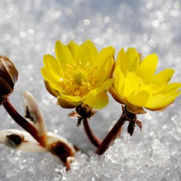冰凌花的养殖方法
