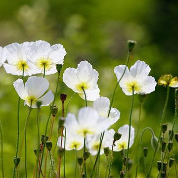 白罂粟的养殖方法