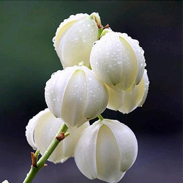 凤尾兰的养殖方法