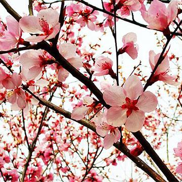 桃花的养殖方法