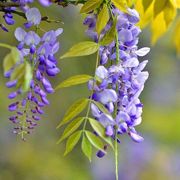 紫藤的养殖方法