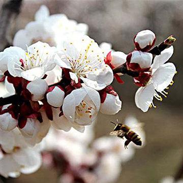 杏花的养殖方法