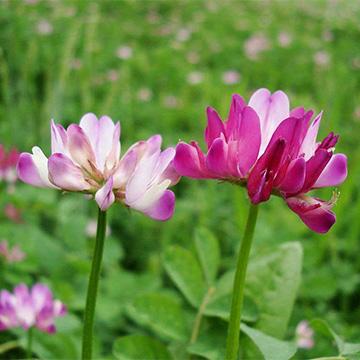 紫云英的养殖方法