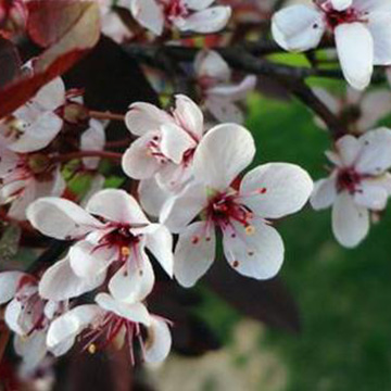 紫叶矮樱的养殖方法