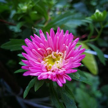 翠菊的养殖方法