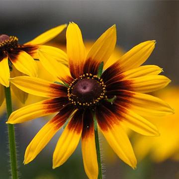 黑心菊的养殖方法