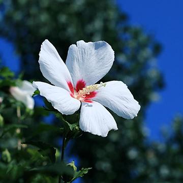 木槿花的养殖方法