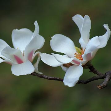 木兰花的养殖方法