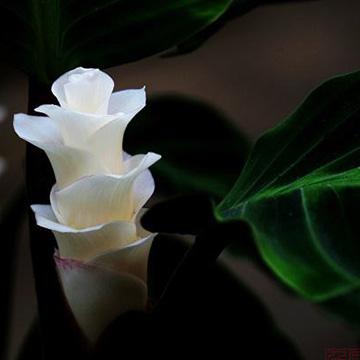 天鹅绒竹芋的养殖方法
