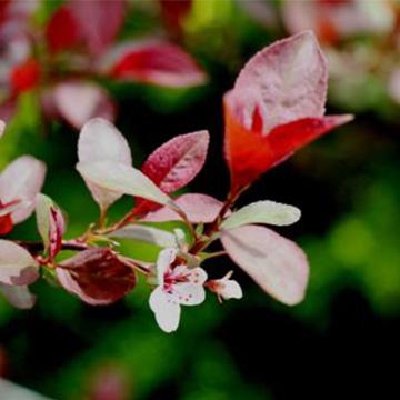 紫叶李的养殖方法