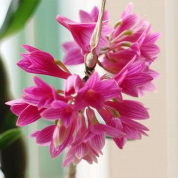 红花石斛的养殖方法