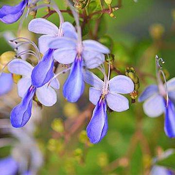 蓝蝴蝶的养殖方法