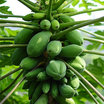 木瓜的养殖方法