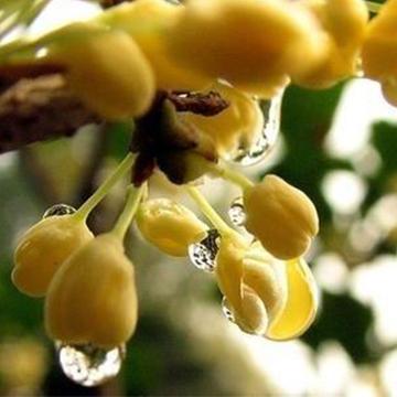 桂花的养殖方法