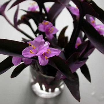 紫竹梅的养殖方法
