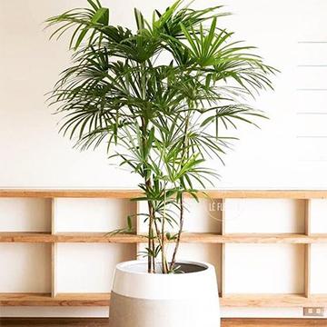 棕竹的养殖方法