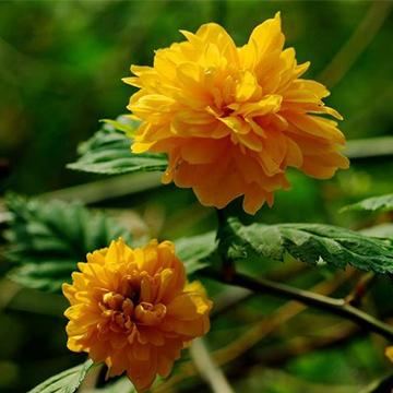 棣棠花的养殖方法