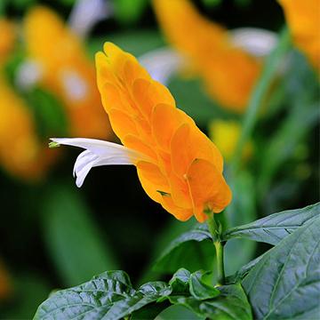 金苞花的养殖方法