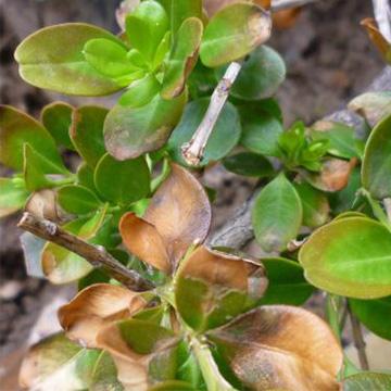黄杨树的养殖方法