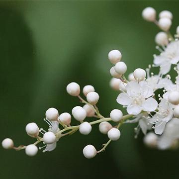珍珠梅的养殖方法