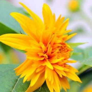 千瓣葵的养殖方法