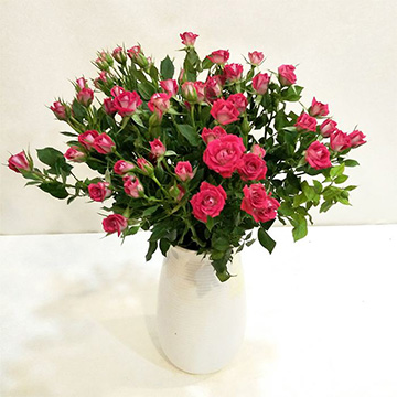 小玫瑰花的养殖方法
