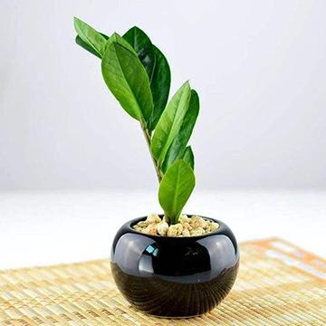 金钱树的养殖方法