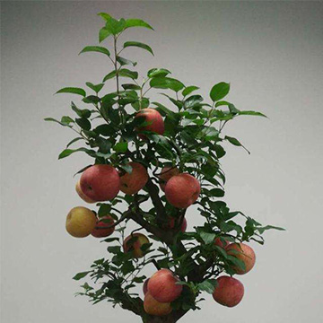 苹果树的养殖方法