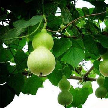 葫芦的养殖方法