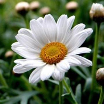 雏菊的养殖方法