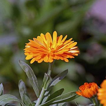 金盏菊的养殖方法