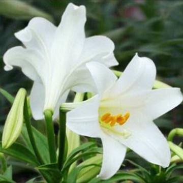 百合花的养殖方法
