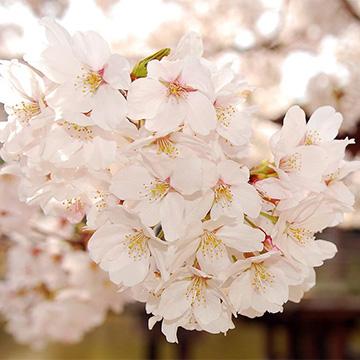 樱花的养殖方法