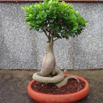 榕树盆景的养殖方法