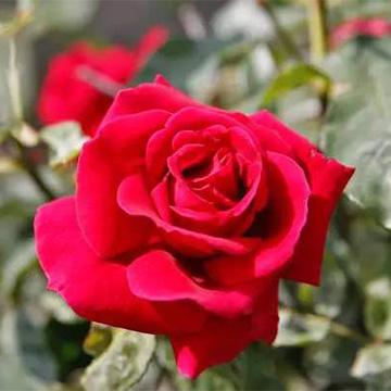 玫瑰花的养殖方法