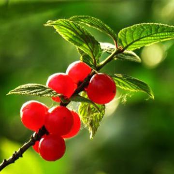 毛樱桃的养殖方法