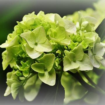 绣球花的养殖方法