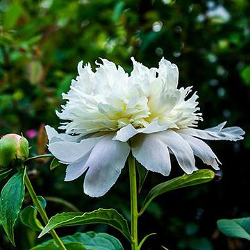 白芍花的养殖方法