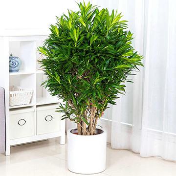 百合竹的养殖方法