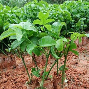 百香果的养殖方法