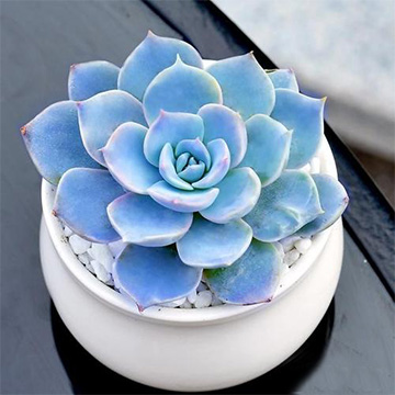 蓝石莲的养殖方法