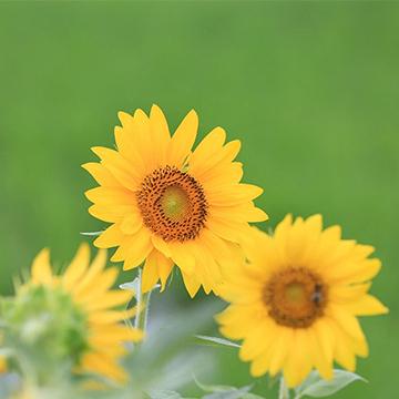 向日葵的养殖方法
