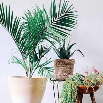 散尾竹的养殖方法