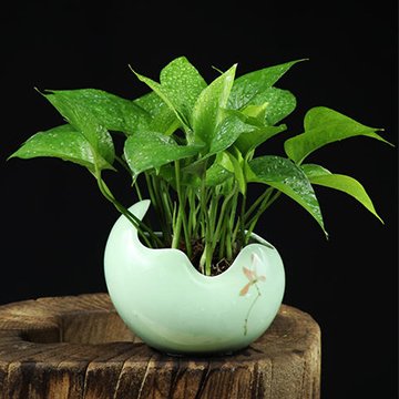 绿萝的养殖方法