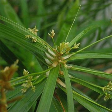 旱伞草的养殖方法