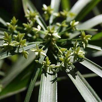 水竹的养殖方法