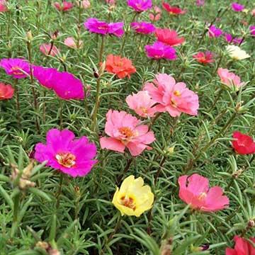 太阳花的养殖方法