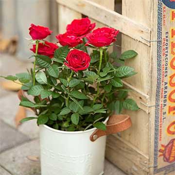 盆栽玫瑰花的养殖方法